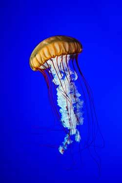 Jellyfish definition and meaning   Collins English Dictionary