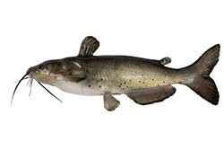 Catfish definition and meaning   Collins English Dictionary