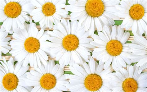 Daisy Full HD Wallpaper and Background Image | 2560x1600