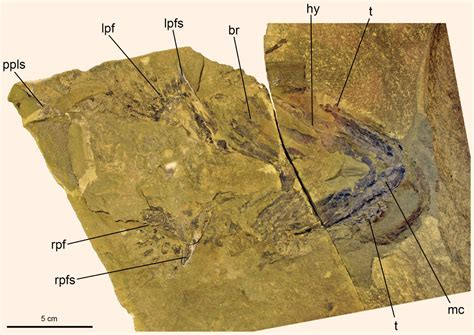 New Study Confirms Sharks Arose from Acanthodian Fishes